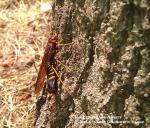 Horntail wasp 2