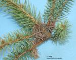 Damage from spruce needleminer