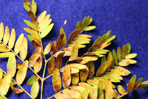 Honey locust leaf spot