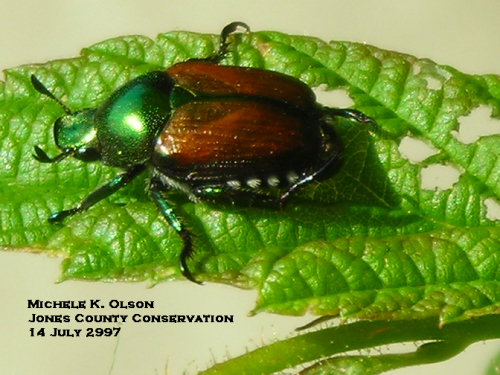 Adult Japanese beetle.  Photo by Michelle Olson.