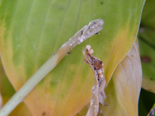 Decayed petiole base and sclerotia