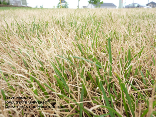 Ascochyta leaf blight symptoms of Kentucky bluegrass leaf blades.  Note lower blades and crown remain healthy.