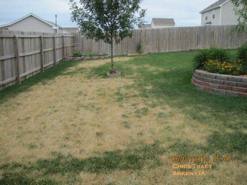 Home lawn showing damage by Ascochyta.  Photo by Chris  Tracy