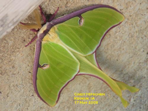 Luna moth.  Photo by Cindy Hipschen, Keokuk, IA.