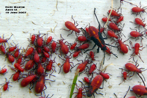 Mass of boxelder bug nymphs of various sizes.