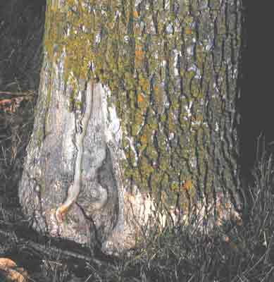 The base of this tree has been injured by a lawn mower.  This is one of the most common stresses we see on urban trees.