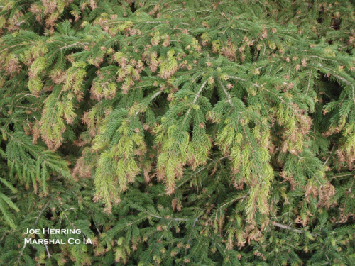 Norway spruce frost damage.  Photo by Joe Herring, Iowa DNR District Forester.