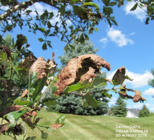 Severe gall infestations may curl or deform leaves.