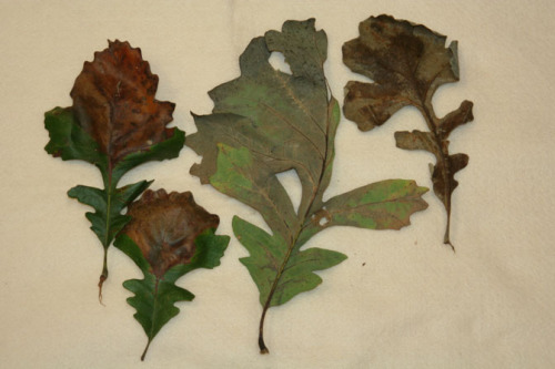 Symptoms of bur oak blight