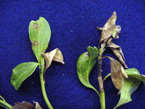 Brown leaf spots and stem cankers