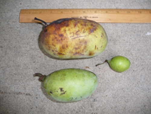 Pawpaw fruit show great variation in shape and size.  Fruit may weigh from 1 to 20 ounces.