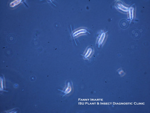 Pestalotia spores.  Photo by Fanny Iriarte.