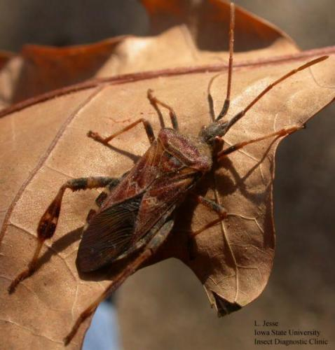 The pine seed bug is an inch long; much longer and more narrow than the invasive brown marmorated stink bug.