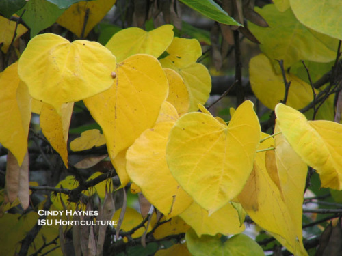 Rebdub Leaves, Fall Color.  Photo by Cindy Haynes