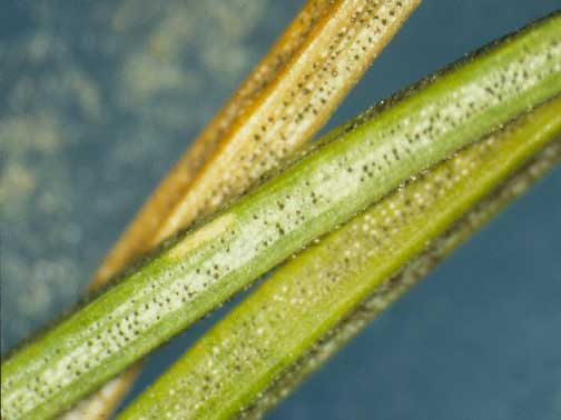 Small black spots (fruiting structures of the Rhizosphaera fungus) appear in rows on infected needles.