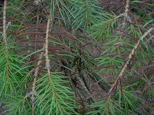 Needles infected with Rhizosphaera needle cast turn a purplish-brown and will eventually fall from the tree.