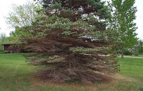 Rhizosphaera needle cast on blue spruce