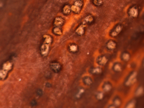 Fungal fruiting bodies on cankered rose stem.