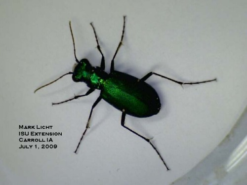 The sixspotted tiger beetle can be distiguished from the emerald ash borer by the thorax that is narrower than the head and the abdomen.