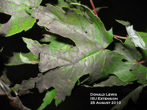 Sooty mold on maple leaf.  Sample from Allamakee County IA.  Note cottony maple scales on the leaf, the source of the honeydew that lead to the sooty mold.