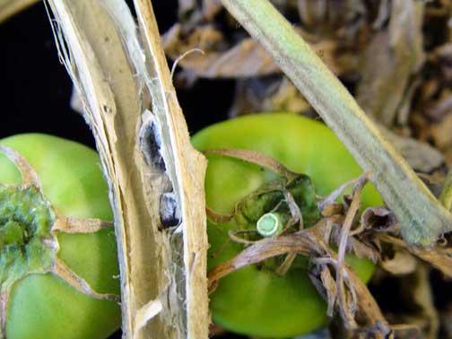 ملف كامل عن زراعة الطماطم  - صفحة 2 Spencer-OrchardsJune2006