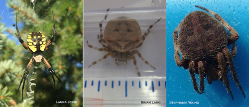 Three common orb-weaver spiders present in Iowa this fall.