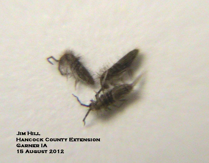 Springtails Jump By Using A Spring Loaded Forked Tail Attached To The Underside Of