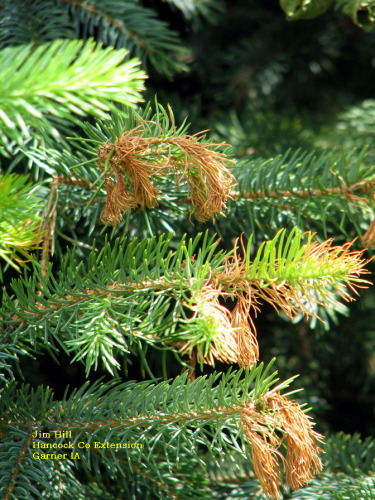 Environmental stress on spruce, causing browning of the newest growth.  Similar symptoms have been reported from throughout the state, often concentrated on the south and west sides of the tree.