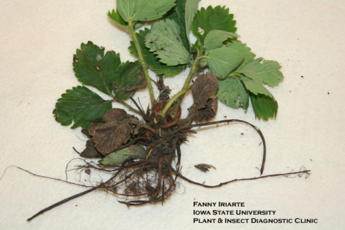 Black root rot of strawberry.  Photo by Fanny Iriarte.