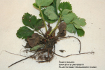 Strawberry Black Root Rot