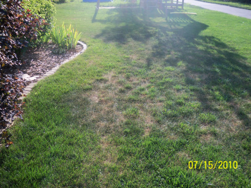 Coalescing rings of summer patch disease on a KY bluegrass lawn.  Photo by Shawn Miner.