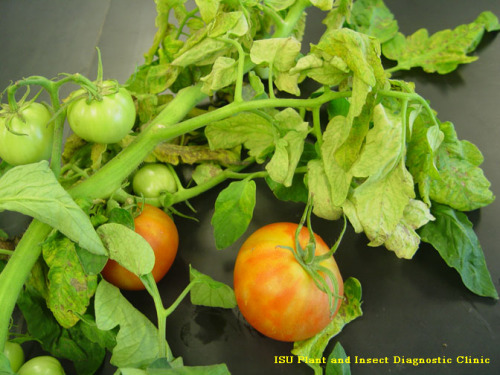 A tomato sample with Tomato Spotted Wilt Virus, causing streaking of the leaves, stem, and fruit.
