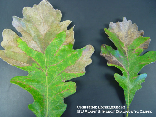 Browning of veins and V-shaped areas on bur oak leaves, typical of this disease.