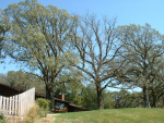 Three trees with symptoms of Bur oak blight