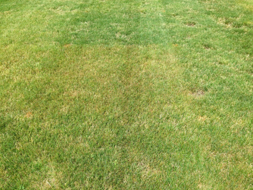 Turfgrass infected with rust has a yellow-brown color from a distance.