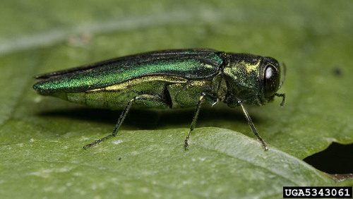 Emerald Ash Borer, adult beetle.  Photo by  David Cappaert, Michigan State University,