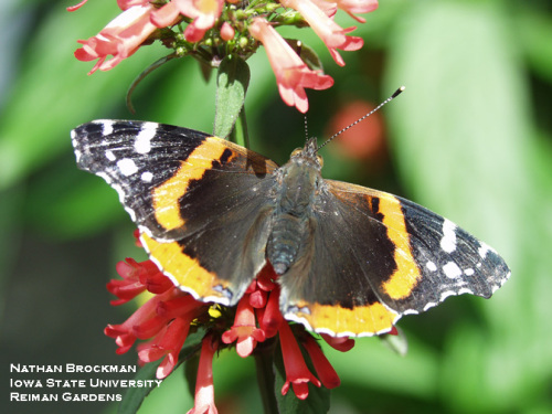 The red admiral butterfly has been more abundant and earlier than usual in Iowa this year.