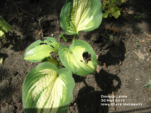Variegated cutworm feeding damage on hosta leaves.
