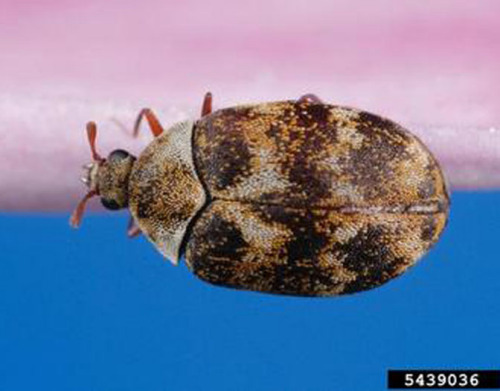 Varied carpet beetle adult.  Photo by Joseph Berger.  From Bugwood.org