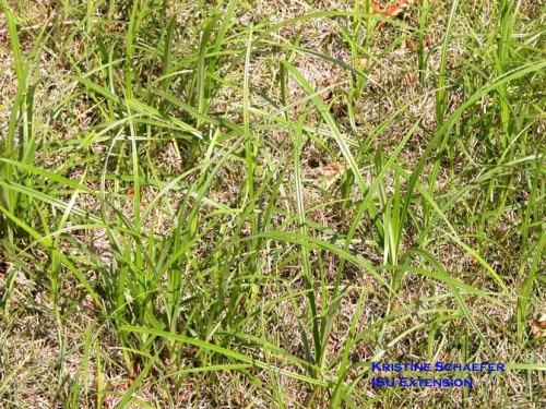 Yellow nutsedge in lawn.