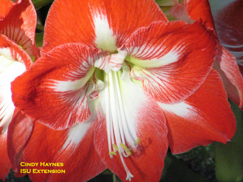 Amaryllis Flower. Photo by Cindy Haynes, ISU Department of Horticulture