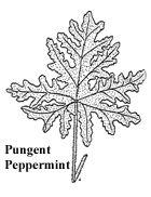 Pungent Peppermint