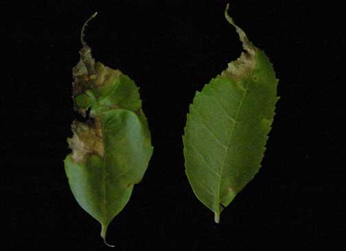 Ash leaves with anthracnose.