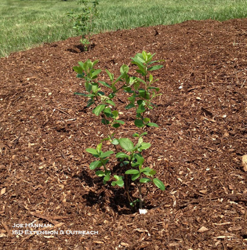 Newly planted aronia plant in mulched bed, Brenton Arboretum.