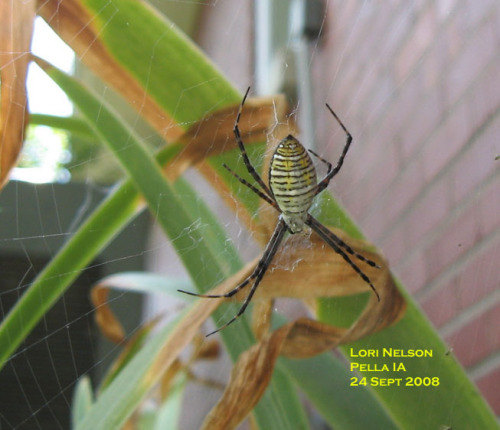 Banded garden spider.  Photo by Lori Nelson