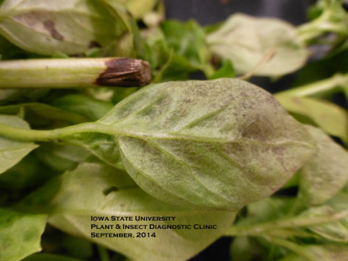 Basil downy mildew produces a gray, fuzzy growth on the leaf undersides.