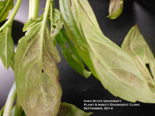 Basil downy mildew symptoms may resemble nutrient deficiency.