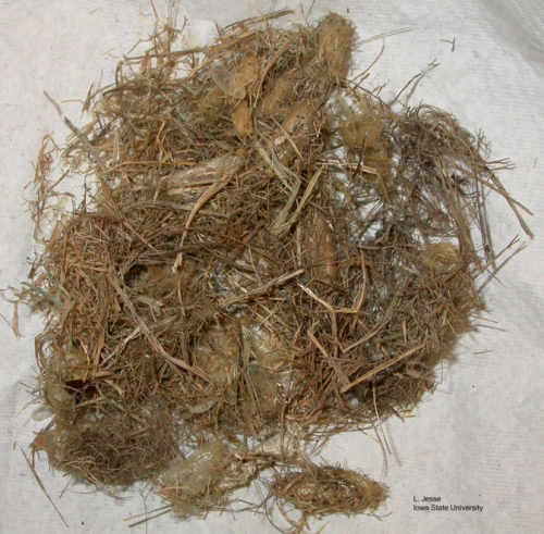 Typical collection of grass clippings assembled by grass-carrier wasp.