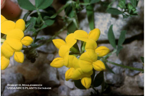 Birsdfoot trefoil flowers.  Robert H. Mohlenbrock @ USDA-NRCS PLANTS Database / USDA SCS. 1989. Midwest wetland flora: Field office illustrated guide to plant species. Midwest National Technical Center, Lincoln.