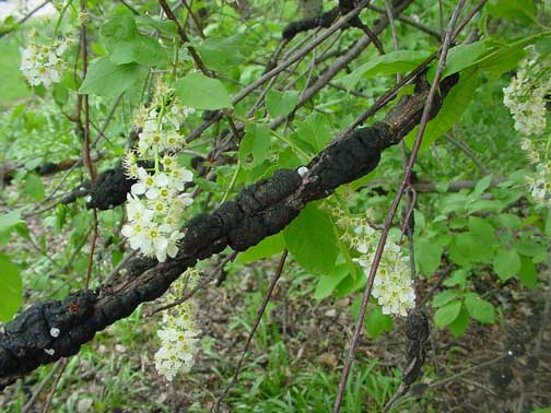 Black knot gall on a chokecherry.